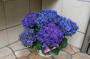 紫陽花の鉢2.jpg
